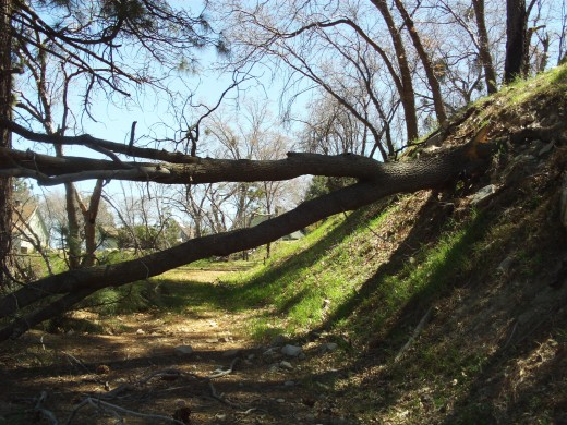 Another picture of the fallen tree.