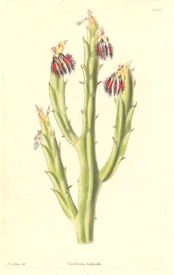 Caralluma fimbriata: 1832 botanical drawing.