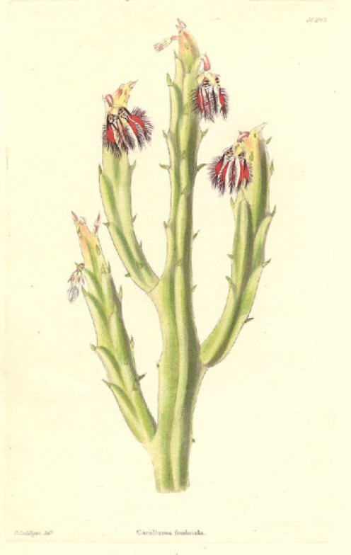 Caralluma fimbriata: 1832 botanical drawing.