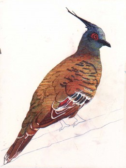 Top Notch Pigeon without background. These beautiful pigeons are found in Australia and this was done for a friend of mine that has helped me on my journey.