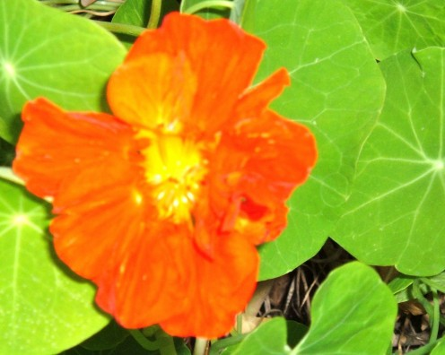 Nasturtium flower in full bloom