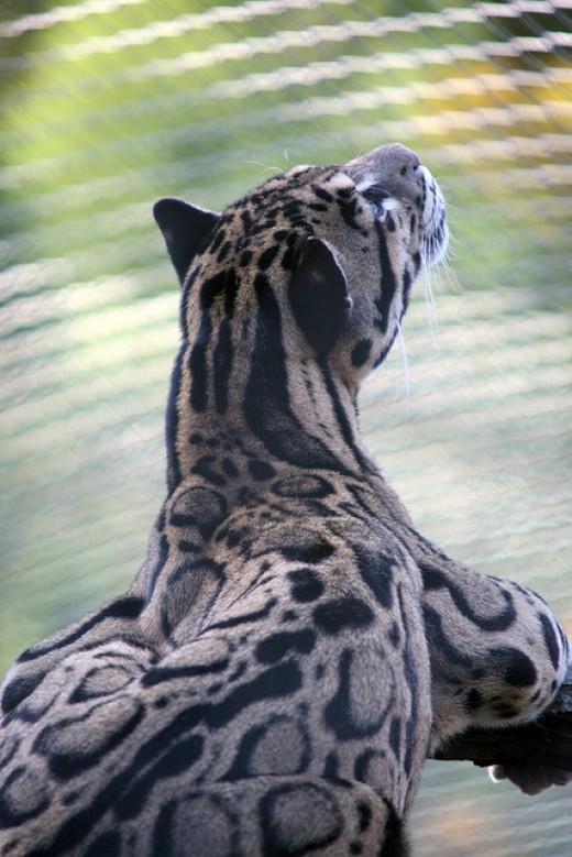 Clouded Leopard, Neofelis nebulosa