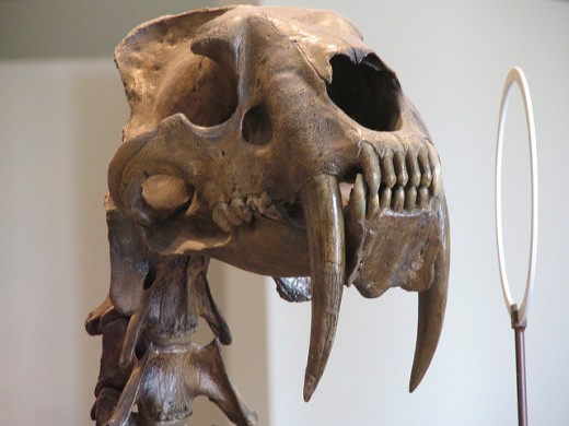 Smilodon, or Sabre-tooth tiger, at the American Museum of Natural History.
