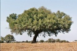 Fruits from the argan tree are harvested once or twice a year.