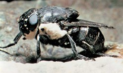 The Gad Fly and the Horse Fly.  Ancient and Deadly Insects