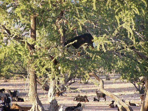 Goats in the argan tree.