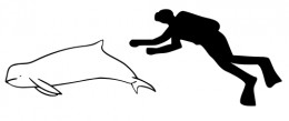Figure 1: Size Comparison of an Average Human Against the Snubfin Dolphin