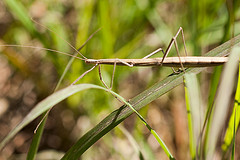 Stick insect on grass from Igntus the Mage Source: flickr.com
