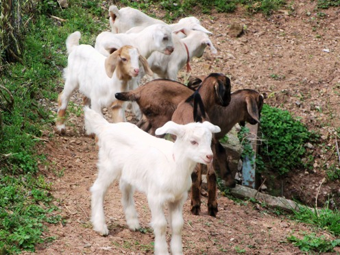 Our Baby  Goats!