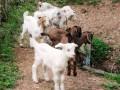 Birthing Baby Goats