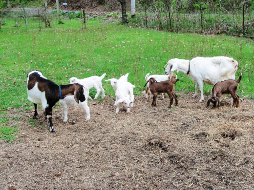 These are Kiko and Nubian mixed goats.