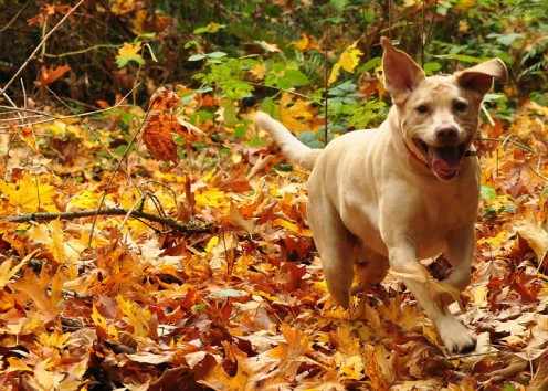 This dog is a happy and spirited canine. Nothing like a romp through the leaves.