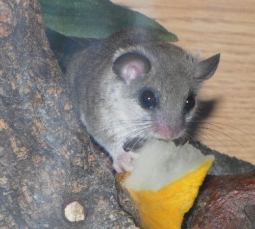 African Pygmy Dormouse with fruit