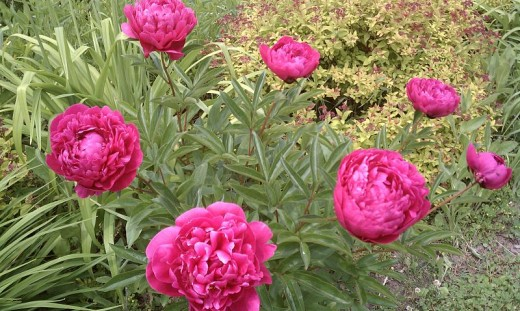 Some peonies are classified as rose scented.