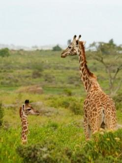 Giraffe - The World's Tallest Land Animal