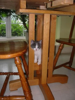 "Our kitten that I received on Mother's Day, in 2007. She climbed up onto the ""legs"" of our kitchen table, she was quite the ""investigator."""