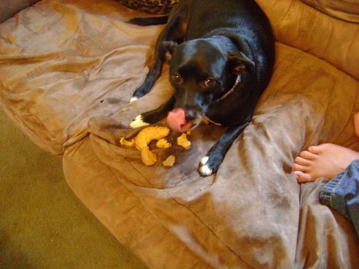 patterdale terrier mix, eating a dog treat that she got for her birthday