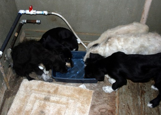 Thirsty babies We removed all the fixtures to make room for recent rescues.