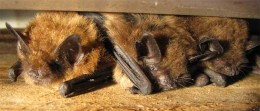 Brown bats in a group.