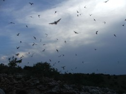 Bats flying at night