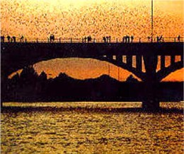 Bats flying out from under the Congress Avenue bridge in Austin, Texas