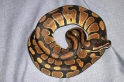 World of Snakes:  The Regius, or Ball, Python