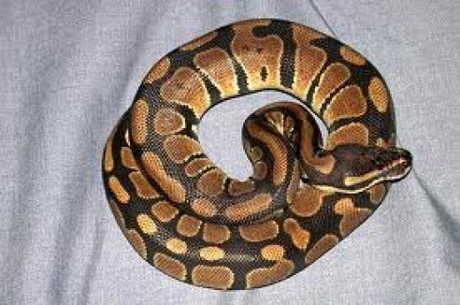 A Regius (Royal) or Ball Python.  Smallest of the pythons and usually docile