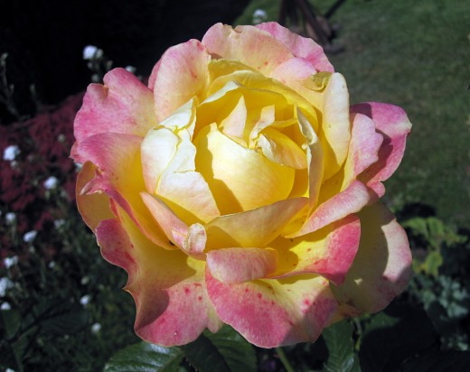The rose - a garden treasure