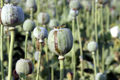 A picture of poppy plant that was previously cut.