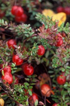 Cranberries on the bush.