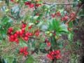 The Holly Bush - A Christmas Bush