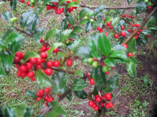 Red berries on female holly bush