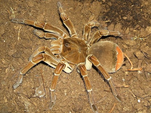 Theraphosa blondi spider (Goliath Bird-eater)