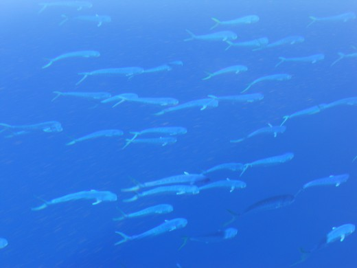 School of dolphin (Mahi Mahi)