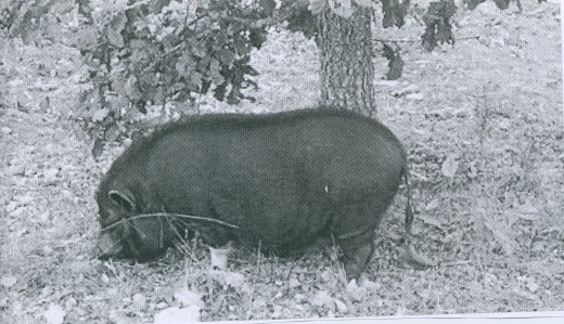 once upon a time a very long time ago hogs ate mushroom truffles and still do.