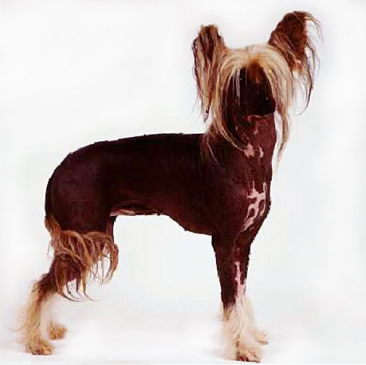Chinese Crested -- purebreeding at its best