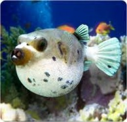 Freshwater Puffer Fish on Dog Faced Puffer Fish