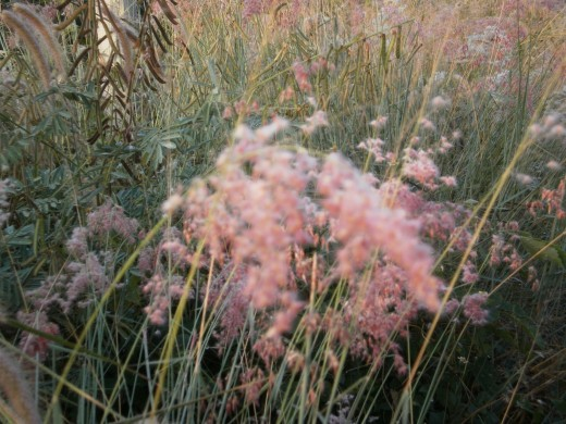 Some of the grasses are really beautiful.  This one changes colour as it ages, but it's most charming stage is this blush pink, especially in the early morning light.