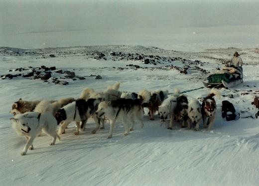 Dog pack! Cold....cold sled dog pack.