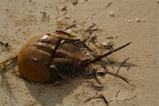 In case you don't know what they look like here is a horseshoe crab up on the beach in Key Largo. They really are a strange looking crab.