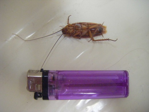 American Cockroach (beside a lighter for sense of scale).  They are the largest type of cockroach found indoors and much bigger than the German and Chinese types. They generally prefer to live outside, however, unless the weather is cold and stormy.
