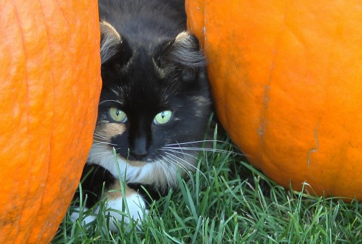 This cat lives at the local farm and is completely at home amongst the pumpkins.