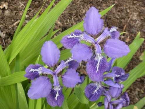 Photo 4 - I took this picture of Siberian Iris in a Chinese Garden.  These are very different from the Bearded Iris, but still so very beautiful.