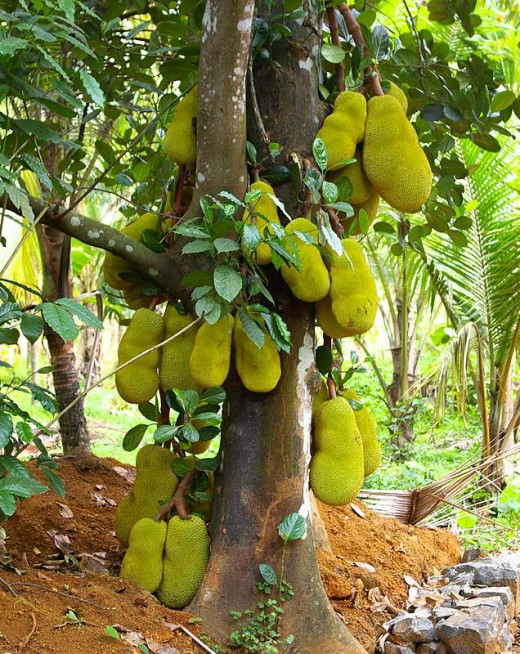 The village has lot of Jackfruit trees
