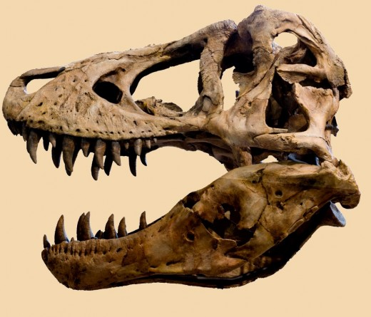 T-Rex Skull shows Healed Fractures
