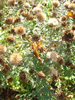 Leave the seed heads through the winter for birds and insects.