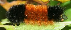 The 34th Annual Woolly Worm Festival