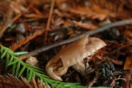 Near end Mushroom