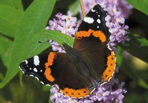 A Red Admiral butterfly on a buddleia bush