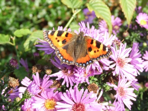 A tortoiseshell butterfly on some michaelmas daisies
